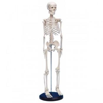Model schelet uman 80 cm